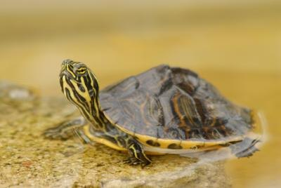 How to Identify Types of Baby Water Turtles (with Pictures) eHow
