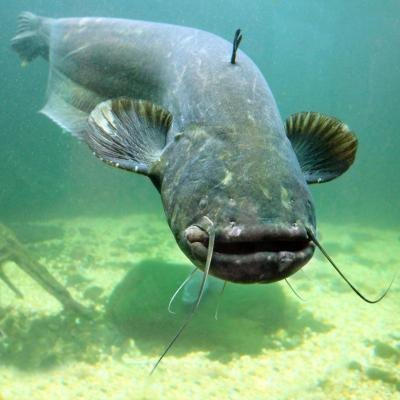 list of fish that are bottom feeders with pictures ehow