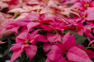 How Long Do Poinsettias Live With Pictures Ehow