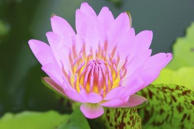 What Is the Meaning of the Pink Lotus?