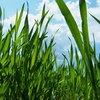 Cons of Wheatgrass