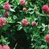 Benefits of Red Clover Blossoms
