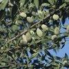 Raw Almonds Health Benefits