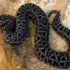 Nonvenomous Snakes of Tennessee