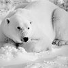 What Are of the Abiotic and Biotic Factors That Influence Polar Bears?