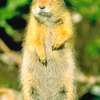 Physical Adaptations of the Ground Squirrel