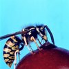 How to Treat Wasp Bites