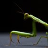Types of Praying Mantis in Northern California