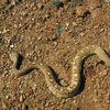 How to Identify a Rattlesnake