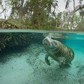 Where to See Manatees Near the Panhandle Area