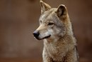 """What Is the Main Idea in the Short Story """"Coyote & the Buffalo"""" by Mourning Dove?"""