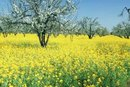 Canola Oil Compared to Olive Oil