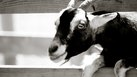 [Raise Goats] | How to Raise Goats to Make Money