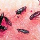 Cómo matar los huevos de pulga