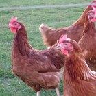 Cómo construir un gallinero para 100 pollos
