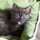 Remedios para una infección ocular en gatitos