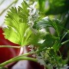 Cómo utilizar el cilantro para usos medicinales