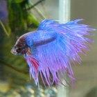 Acerca del pez betta corona macho
