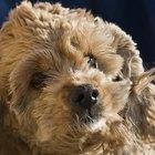 Tratamiento de una infección por estafilococos en los perros