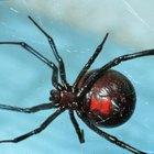 Diferentes tipos de arañas rayadas