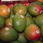 Sobre los injertos de árboles de mango