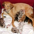 Cómo detener el período de lactancia en perros