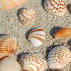 Cómo limpiar las conchas marinas