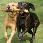 Las mejores razas de perro para correr