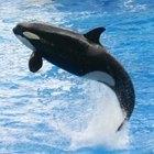 ¿Por qué a las orcas se les llama ballenas asesinas?