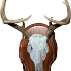How to Mount Deer Skull Caps