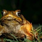 How Does a Toad Catch Food?