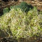How to Prepare Broccoli Sprouts
