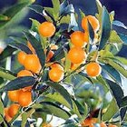 How to Grow a Kumquat Tree from a Kumquat Seed