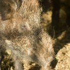Hog Hunting in Amarillo, Texas