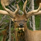 The Best Elk Hunting Regions in Idaho