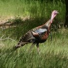 How to Sight a Shotgun With a Scope for Turkeys