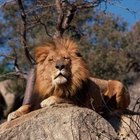 What Features Do Lions Have to Survive in the Wild?