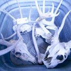 How to Wash a Deer Skull With Acid