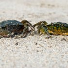 How to Clean Blue Crabs Before Cooking