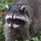 How Do Raccoons Adapt During Winter?