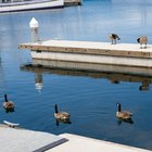 How to Keep Geese Off a Boat Dock