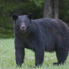 Top Five Black Bear Hunting Locations