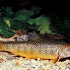 How to Tell If It's a Male or a Female Trout