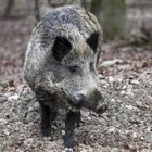 Wild Hog Hunting in Ohio