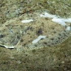 What Is the Difference Between Fluke & Flounder?