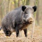How to Field Dress a Hog