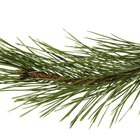 How to Make Pine Hunting Scent
