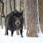 Alabama Laws on Feral Hog Hunting