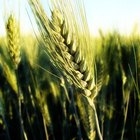 Información nutricional del salvado de trigo