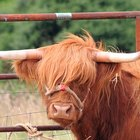 The Effects of Cow Manure on the Environment